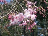 神社の桜 ①