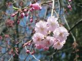 神社の桜②