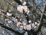神社の桜③
