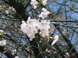 神社の桜④