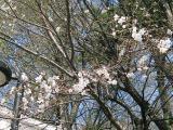 神社の桜⑤