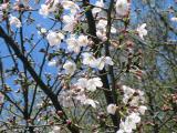 神社の桜⑥