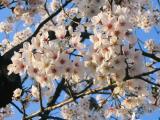 夕方の桜綺麗だったな~♪