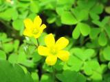 ミニクローバーのあちこちに咲いていました♪