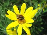 一生懸命、花粉を集めている働き者のハチさん♪