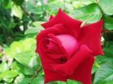 私と同級生のバラさん、毎年綺麗な花を咲かせてくれてどうもありがとう♪
