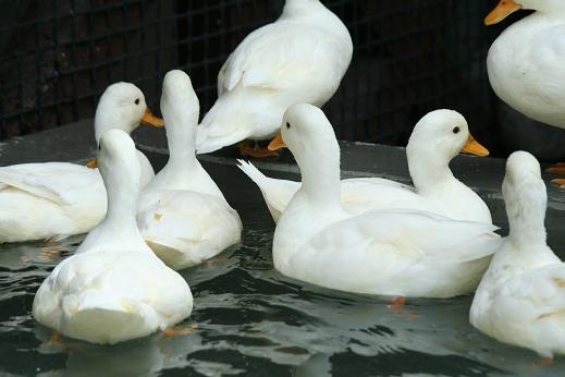 Duck20080719_2.jpg