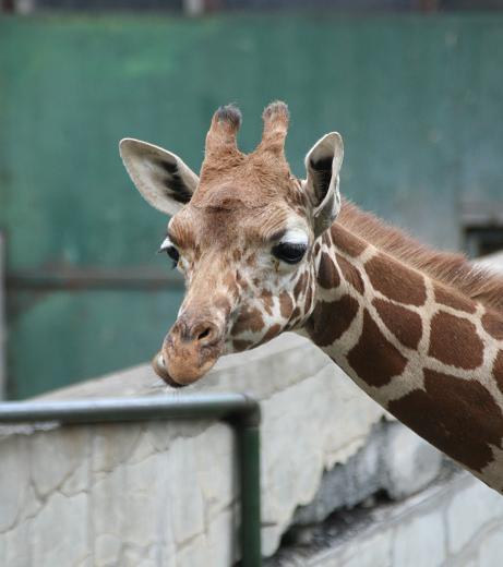 Girafee20080719_2.jpg