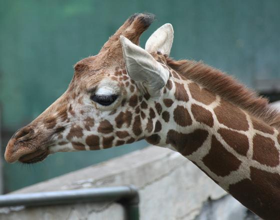 Girafee20080719_3.jpg