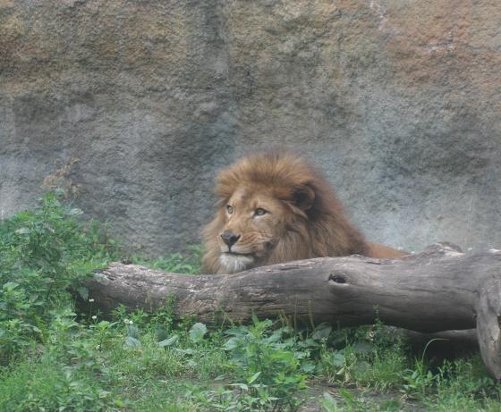 Lion20080719_2.jpg