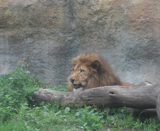 Lion20080719_3.jpg
