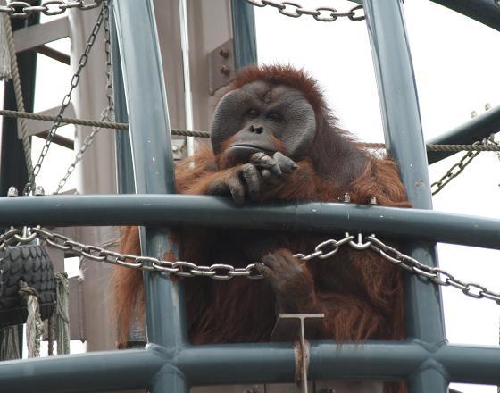 Orangutan20080719_2.jpg