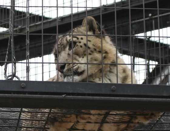 SnowLeopard20080819_3.jpg
