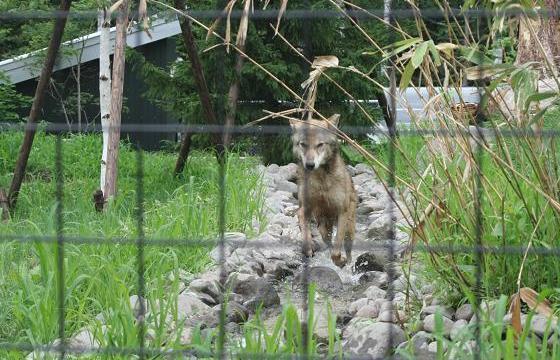 Wolf20080719_2.jpg