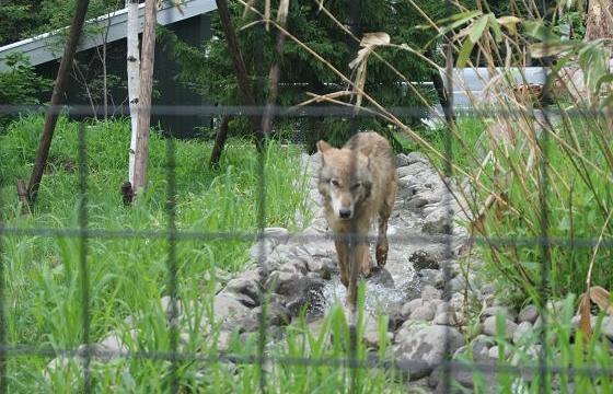 Wolf20080719_3.jpg