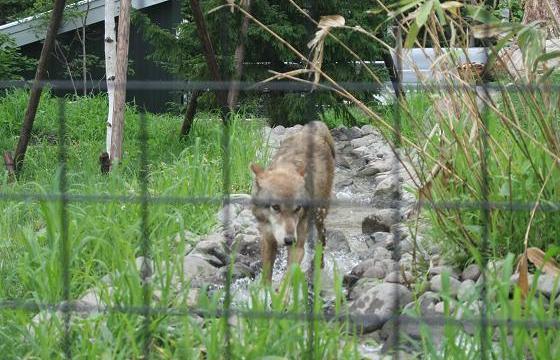Wolf20080719_4.jpg