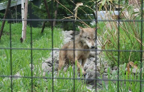 Wolf20080719_5.jpg