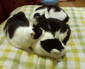 お団子3猫