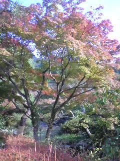 円山公園の紅葉