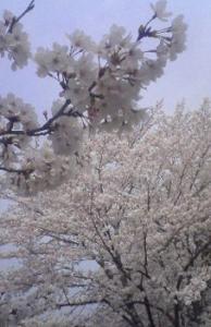 桜(玉川)