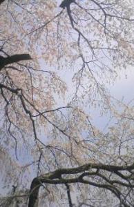 枝垂桜(地蔵禅院)
