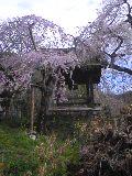 枝垂桜と釣鐘