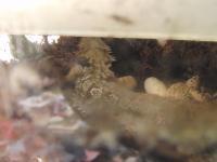 フトアゴ産卵