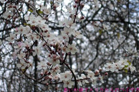 ロンドンの桜♪