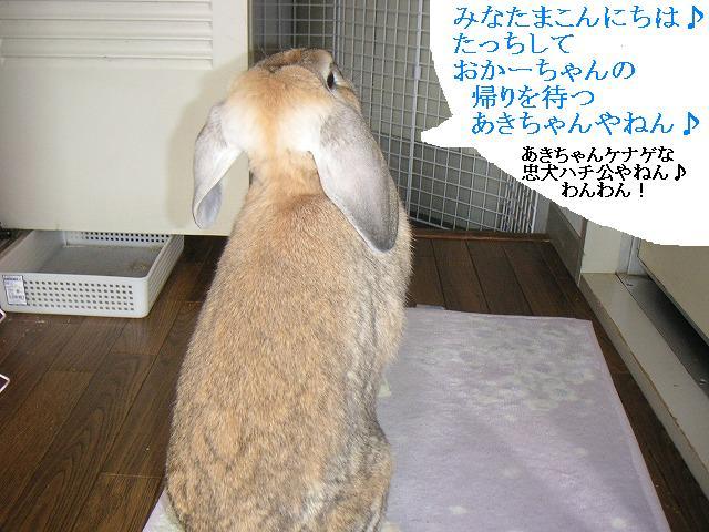 忠兔あきちゃんの巻。