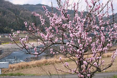 美郷町の桜