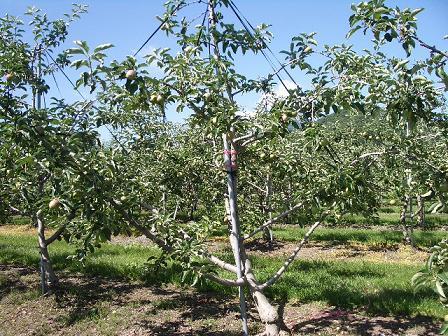 アルテナメロのりんごの木(全体)