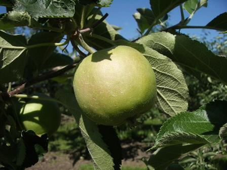 アルテナメロのりんごの木(実)