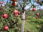 10月9日、アルテナメロのりんご収穫①