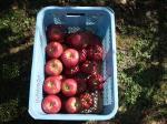 10月9日、アルテナメロのりんご収穫②