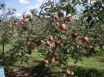 10月9日、アルテナメロのりんご収穫③