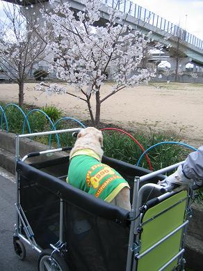 桜も、あと少しだね~
