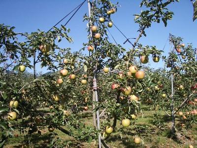 アルテナメロのりんご、9月27日②