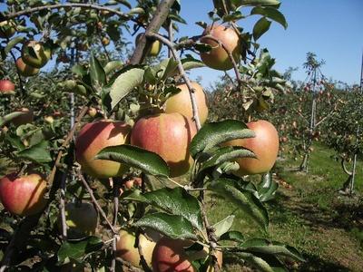 アルテナメロのりんご、9月27日③
