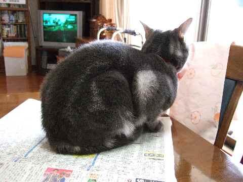 必殺・新聞座り猫