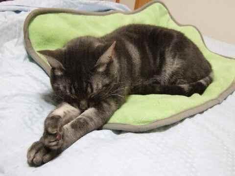 ひとりで寝られる猫