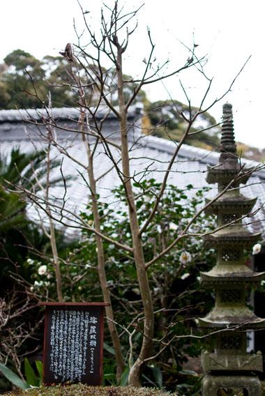 油山寺 沙羅双樹の木