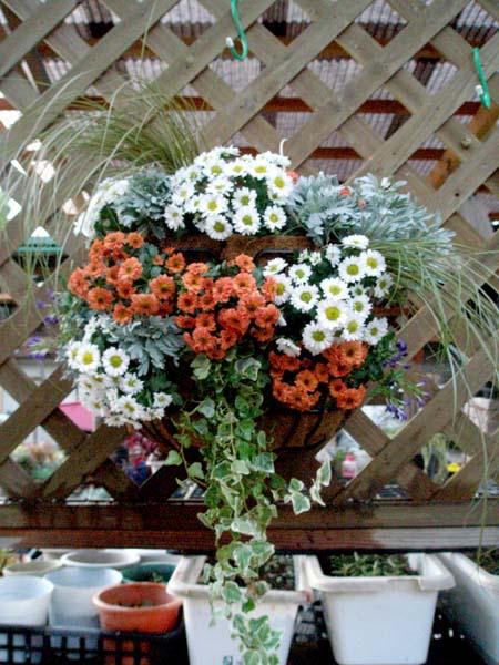 スプレー菊のハンギング