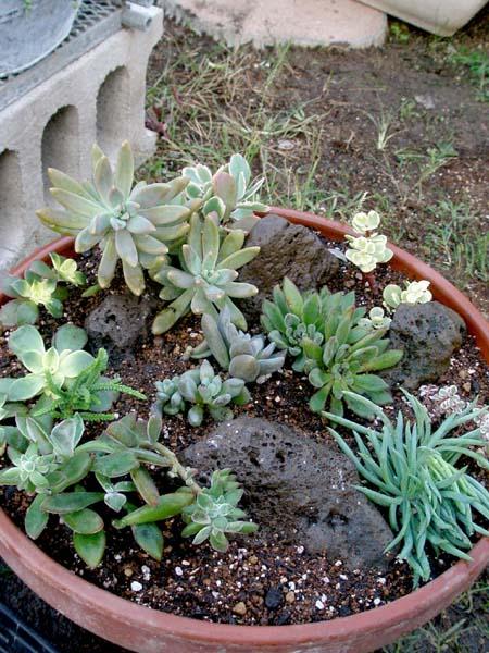 多肉寄せ植え鉢