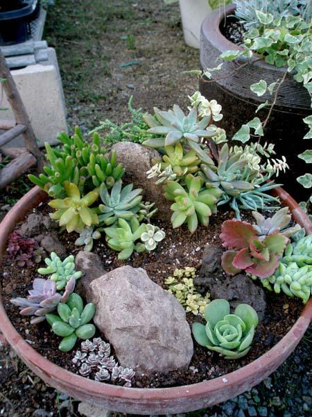 多肉大鉢の寄せ植え