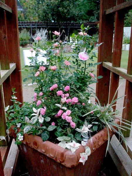 バラのラブリー寄せ植え