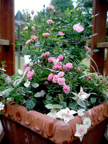 バラのラブリー寄せ植えアップ