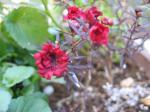 ギョリュウバイ 開花