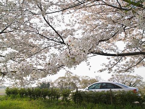 土手桜10.jpg