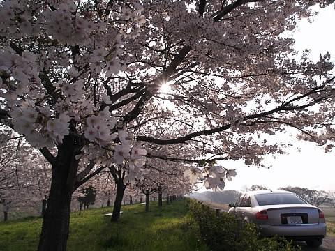 土手桜1.jpg