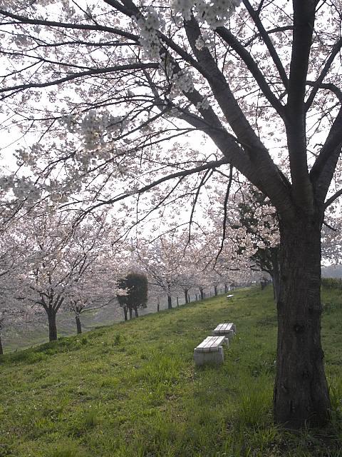 土手桜8.jpg